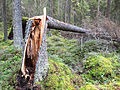 Jyväskylä - broken tree.jpg