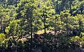 Kızılçam - Turkish pines - Pinus brutia 01.JPG