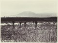 KITLV - 3746 - Kurkdjian - Soerabaja - Rice pickers in the rice fields in Java - circa 1900.tif