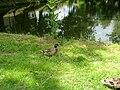 Kačer u rybníku v Herálci.jpg