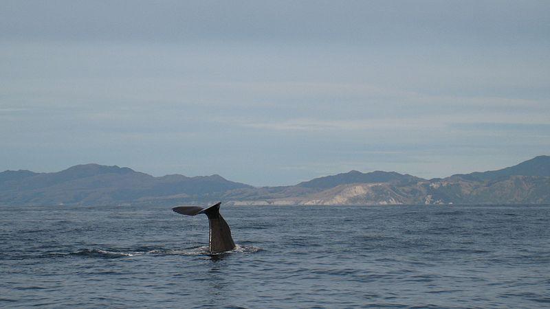 Kaikoura whalewatching