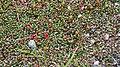 Kalmia procumbens greplyng IMG 3436 norefjell.jpg