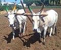 Kangayam bulls, Kolathupalayam Getticheviyur.jpg