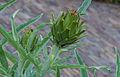 Kardoen (Cynara cardunculus). Locatie, De Kruidhof Kruidentuin in Friesland 01.jpg