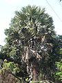 Karimpana (Malayalam- കരിമ്പന) (2391958528).jpg