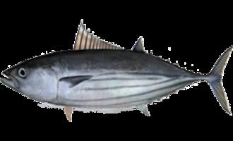 Skipjack tuna - Image: Katsuwonus pelamis