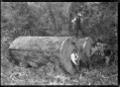 Kauri logs, near Piha. ATLIB 135986.png