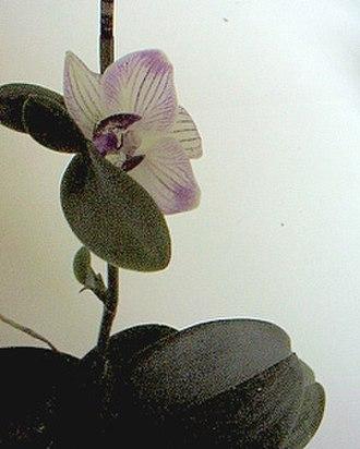 Keiki - Regular Keiki in flower on Phalaenopsis mother plant