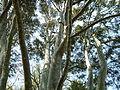 Kew Gardens Lacebark Pine P1170575.JPG