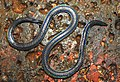 Khaire's Black Shieldtail Melanophidium khairei by Dr. Raju Kasambe DSCN1145 (28).jpg