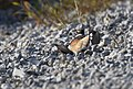 Killdeer Faking an Injury to Protect Young (34446071111).jpg