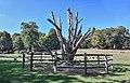 Kinnekswiss – Carpinus betulus 2019.jpg