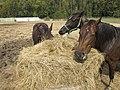Kone na ranči - panoramio.jpg
