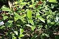 Kopsia fruticosa 9zz.jpg
