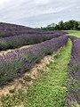 Koroshegy lavender2.jpg