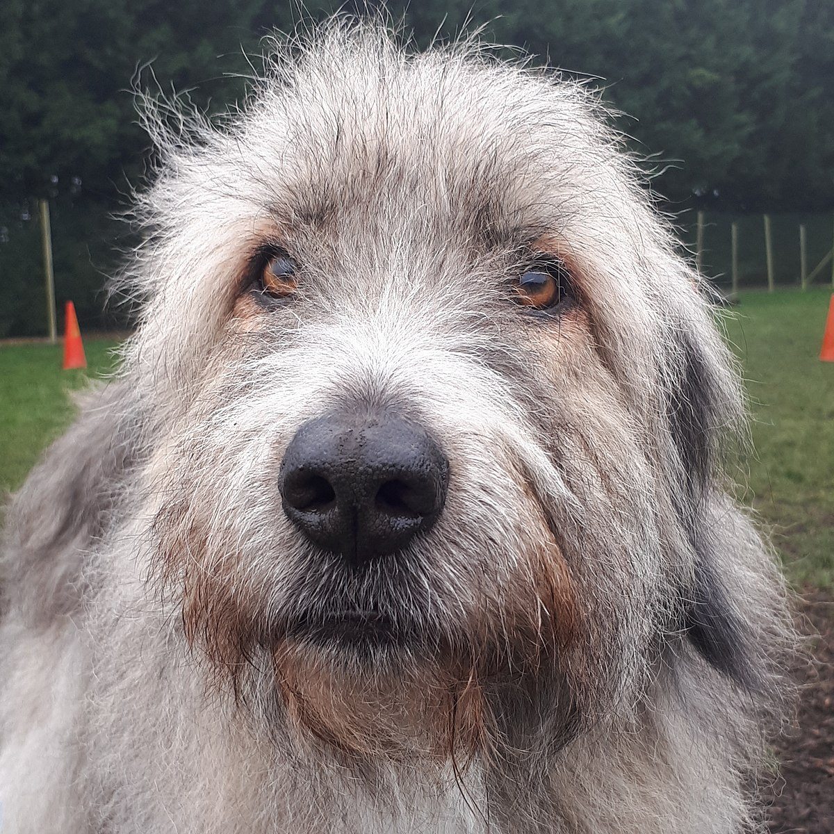 Kratu (dog) - Wikipedia