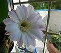 Kwiat kaktusa - temu kto chce zniszczyć ^^panoramio^^ niech mu kaktus wyrośnie... - panoramio.jpg
