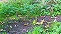 LSG0025QLB (Bode-Selke-Aue) Wedderstedt Mauswiesel (kleinstes Raubtier der Welt) 1.jpg