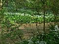 LSG Westlicher Steilhang des Rurtales Bärlauch (Allium ursinum) 3 DE-NW.jpg
