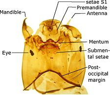L Orthocladiinae head explained.jpg