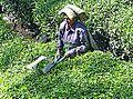 La cueillette du thé (Kerala, Inde) (13663515803).jpg