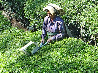 Devikulam - Image: La cueillette du thé (Kerala, Inde) (13663515803)
