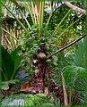 La palma du cocò de mer - panoramio.jpg