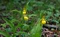 Ladys Slipper Orchids (8744257317).jpg