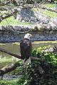 Laika ac Bald Eagle (13272724225).jpg