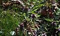 Lainzer Tiergarten März 2014 Purpurrote Taubnesseln (Lamium purpureum) Schwebfliege (Syrphidae) e.jpg