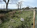 Lamb near Golcar farm, Baildon - geograph.org.uk - 762300.jpg