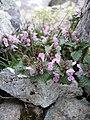 Lamium spec, near Monte Cinto ~2200, Corse.jpg