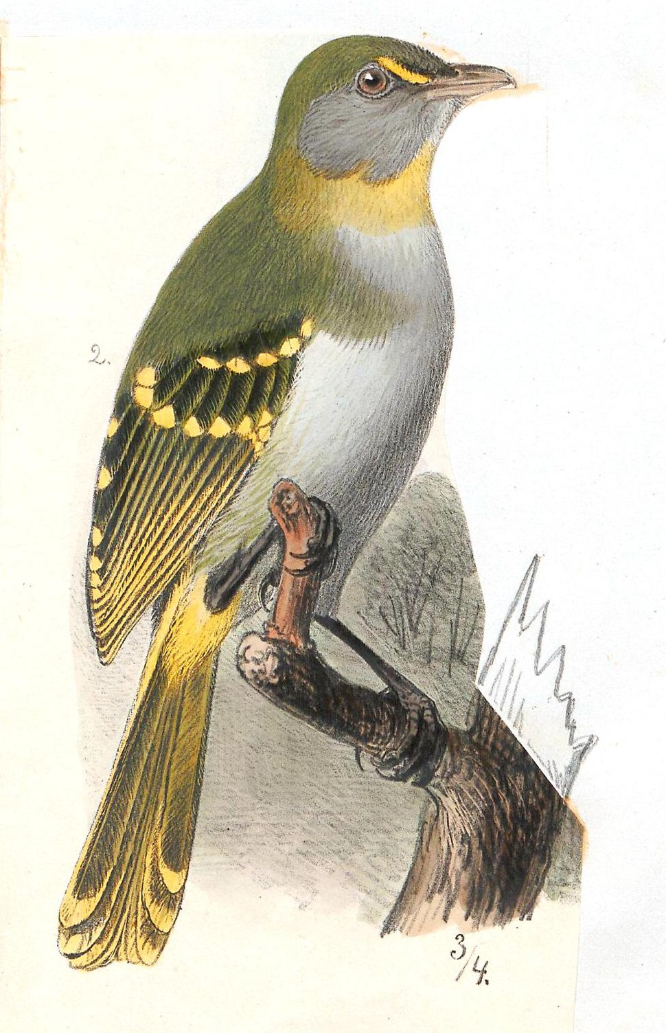 Laniarius vireo - 1700-1880 - Print - Iconographia Zoologica - Special Collections University of Amsterdam - UBA01 IZ16600469, crop