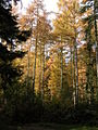 Larch trees in Park Plantation - geograph.org.uk - 277926.jpg