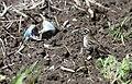 Lark Sparrow (47103097934).jpg