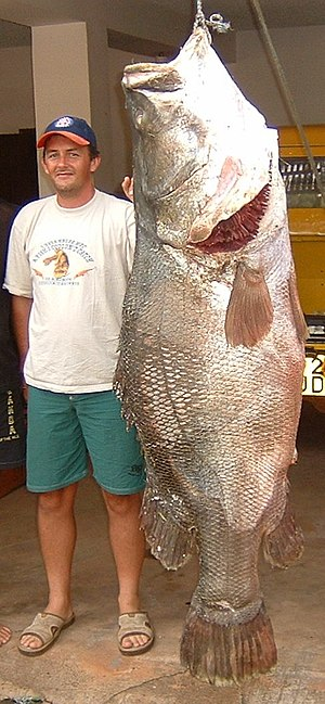 Nile perch - Image: Lates niloticus 2