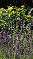Lavendelbeet im Innenhof 08.jpg