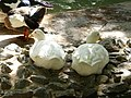 Le canard Blanc - Jardin d'essai El Hamma - Alger.JPG