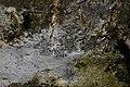 Lecidella elaeochroma 64459070.jpg