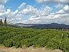 Lemon Orchard in the Galilee by David Shankbone.jpg