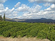 Lemon Orchard in the Galilee by David Shankbone