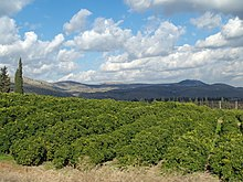 Hillside of lemon orchard in Galilee.