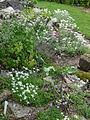 Leontopodium stracheyi-Jardin d'altitude du Haut-Chitelet (5).JPG