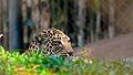 Leopard in Trivandrum zoo.jpg