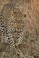 Leopard londolozi 3.jpg