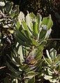 Leucospermum winteri Rebelo 1.jpg