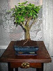 Ligustrum japonicum bonsai.JPG
