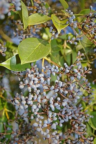 Ligustrum lucidum - Image: Ligustrum lucidum berries