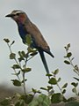 Lilac breasted roller in Tanzania 0807 cropped Nevit.jpg