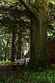 Lilienfeld - Naturdenkmal LF-021 - Parkanlage im Stift Lilienfeld - 05 - Stamm einer Blutbuche (Fagus sylvatica Atropunicea).jpg